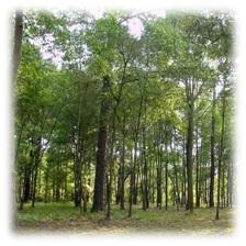erdeimez Fák méze