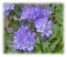 facelia Virágok méze