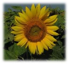 napraforgo Virágok méze